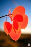 Fall Colors 2008, Eastern Sierras, CA